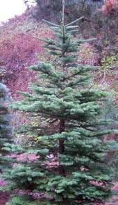 Silvertip Christmas Tree Orange County by Mt Hood National Forest Forest Products Permits