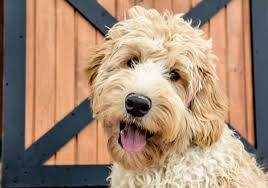 Small Non Shedding Dogs Australia by Upcoming Litters U2022 Australian Labradoodle Breeders In Colorado
