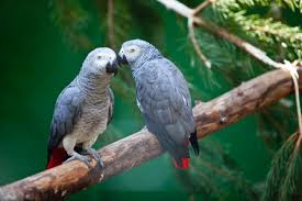 The African Grey Parrots Are Regarded As One Of Most Intelligent Species Birds In World They Primarily Found West And Central Africa