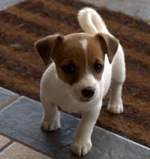 Best Mini Dogs That Dont Shed by Small Dog Breeds Alphabetical The Small Breed Articles Web