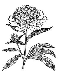 Carnation Flower Photo Colouring Page