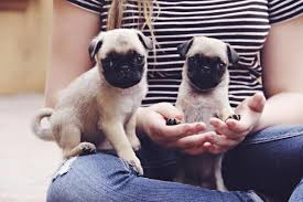 Do Pugs And Puggles Shed by Miniature Pug