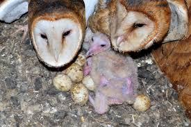 Drawn Owlet Barn Owl - Pencil And In Color Drawn Owlet Barn Owl Chris Eastern Screech Owl Nest Box Cam For 2001 Three Cute Barn Owlets Getting Raised In Kodbakkam Chennai 077bojpg Needle Felted Owlet Baby Outdoor Alabama Escapes And Photography Owls Owlets At Charlecote Park Robin Loznak Barn Owls Oregon Overheated Chicks Rescued Hungry Project 132567 2568 2569 2570 The Wildlife Center Wallpaper Archives Trust Young Thrive On Harewood Estate House By Michael A Eccles