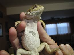 Bearded Dragon Shedding Nostrils by 100 Bearded Dragon Shedding Behavior Pet A Bearded Dragon