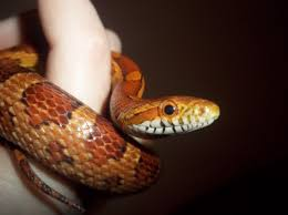 Corn Snake Shedding Time by Corn Snakes Eyes Cloudy Page 2 Reptile Forums