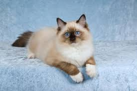 Ragdoll Cat History and Myths