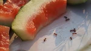ameisen bekämpfen hausmittel gegen ameisen im haus
