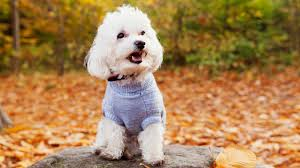 Do Hypoallergenic Dogs Still Shed by 10 Non Shedding Dog Breeds Your Black Clothing Will Thank You For