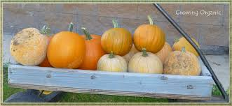 Varieties Of Pie Pumpkins by Growing Organic Pie Pumpkins Or Sugar Pumpkins