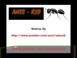 Flying Ants In Bathroom Window by How To Get Rid Of Flying Ants In The House Youtube
