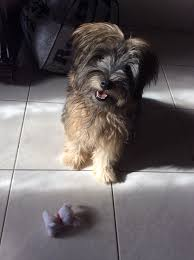 Do Wheaten Terrier Puppies Shed by Soft Coated Wheaten Terrier And Schnauzer Mix Animals