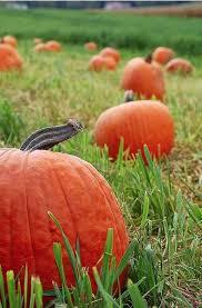Halloween Express Milwaukee Pumpkin by Best 25 Pumpkin Field Ideas On Pinterest Fall Season Pumpkin
