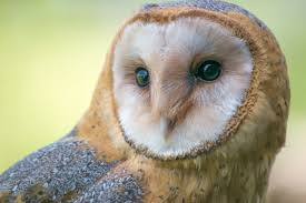 High Desert Bird Of The Month: Barn Owl Watch The Secret To Why Barn Owls Dont Lose Their Hearing 162 Best Owls Images On Pinterest Barn And Children Stock Photos Images Alamy Owl 10 Fascating Facts About Species List Az 210 Birds Drawing Photographs Of Cave By Tyler Yupangco 312 Beautiful Birds