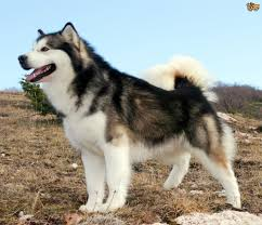 Do Samoyed Huskies Shed by Alaskan Malamute Dog Breed Information Buying Advice Photos And