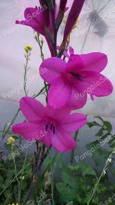 54 best genus watsonia images on cut flowers garden