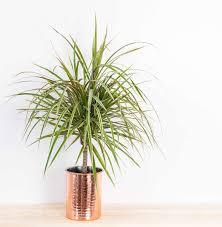 drachenbaum profi tipps rund um die dracaena plantura