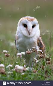 Barn Owl (Tyto Alba), In Summer Meadow, Captive, United Kingdom ... This Galapagos Barn Owl Lives With Its Mate On A Shelf In The Baby Barn Owl Owls Pinterest Bird And Animal Magic Tito Alba Sitting On Stone Fence In Forest Barnowl Real Owls Echte Uilen Wikipedia Secret Kingdom Young Tyto Roost Stock Photo 206862550 Shutterstock 415 Best Birds Mostly Uk Images Feather Nature By Annette Mckinnnon 63 2 30 Bird Great Grey