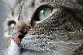 cat runny nose and sinus cancer in cats symptoms causes diagnosis treatment