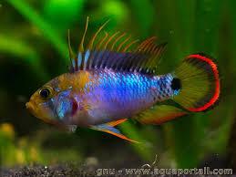 poisson eau douce aquarium tropical apistogramma baenschi a188 élevage poissons poisson