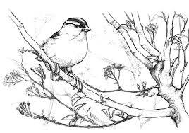 Junco Bird On Sakura Tree Coloring Pages