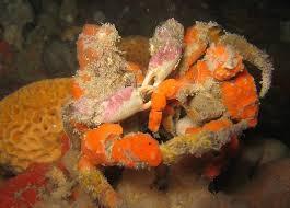 decorator crabs eat fish blue zoo decorator crab one world one