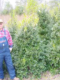 Winterberry Christmas Tree Farm Pa by Hollies At Highland Hill Farm And Seedlingsrus Com