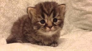tea cup cat teacup golden tabby kitten for from s