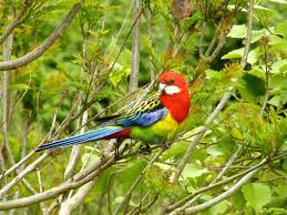 Eastern Rosella | New Zealand Birds Online Introduced Birds Birds In Backyards Best 25 Bird Watching Ideas On Pinterest Pretty Backyard 510 Best Birds Of A Feather Images Blackwinged Stilt 2016 Results Aussie Count Rainbow Lorikeet Evolve Their Behavior Without Chaing Bodies The To Feed Or Not To Audubon Female Blackbird Front Yard And Landscaping Ideas Designs Country Garden Striped Honeyeater Inland E Australia My