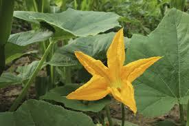 Fertilizer For Pumpkins Uk by Garden Design Garden Design With Plant Id Please With Vegetable