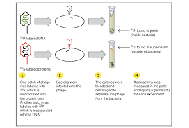 Classic experiments DNA as the genetic material article