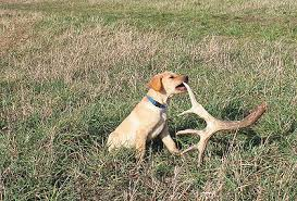german shorthaired pointer shed shedding light on antler dogs