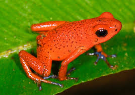 Do Aquatic Dwarf Frogs Shed Their Skin by Strawberry Poison Dart Frog Wikipedia