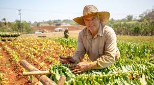 Cuban Cigars Tabacco Cultivation In Cuba