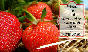 Pumpkin Picking South Jersey Nj by Where To Find Pick Your Own Strawberry Farms In North Jersey