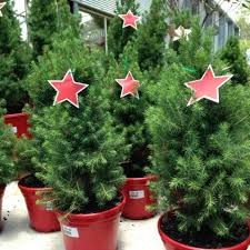 Balsam Christmas Tree Care by Caring For Your Potted Christmas Tree Brookfield Garden Centre