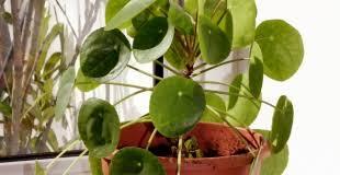 plantes vertes d interieur plantes d intérieur et plantes vertes entretien culture conseils