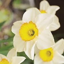 narcissus sempre avanti large cupped daffodil