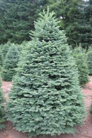 Silvertip Fir Christmas Tree by Castro Valley Christmas Tree Farm Tree Types