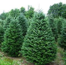 Best Smelling Christmas Tree Types by 10 Best Types Of Christmas Trees U0026 Which One Is Best For Your Family