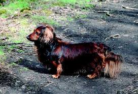 Quiet Small Non Shedding Dog Breeds by 29 Small Non Shedding Dog Breeds Shedding Dogs Dog Breeds And