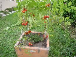associez les tomates le basilic les salades jardiner avec jean