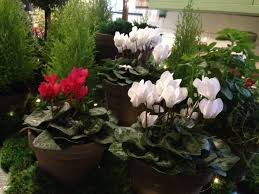 100 Blooming House Cyclamens Christmas Houseplant The Old Farmers Almanac