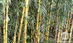 entretien des bambous en pot entretien bambou arrosage taille fertilisation jardinerie