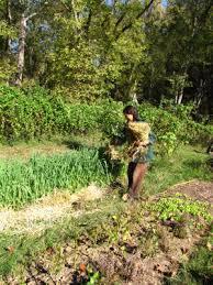 Ve able garden mulch experiments