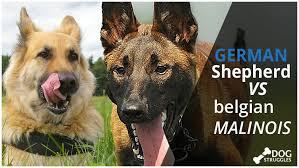 belgian malinois vs german shepherd complete guide in 2017