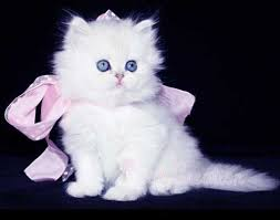 tea cup cat this adorable kitten is a doll faced teacup this just may