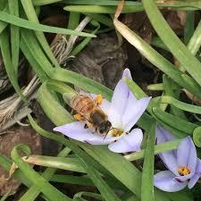 82 best ipheion images on beautiful flowers bulb
