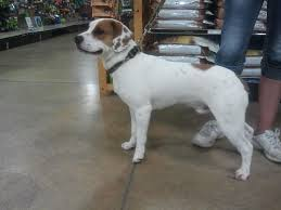 Large Dog Breeds That Dont Shed by Beabull Beagle X Bulldog Mix Info Temperament Training