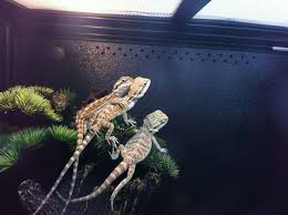Bearded Dragon Heat Lamp Went Out by 16 Best Bearded Dragon Images On Pinterest Bearded Dragon