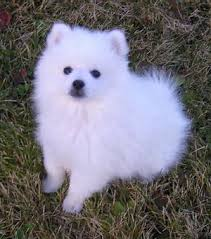 miniature american eskimo dog breeds and photos and videos lucky